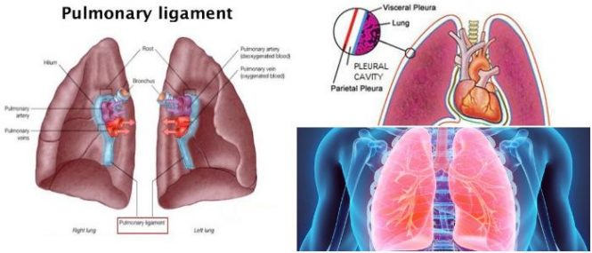 pulmonary ligament anatomy